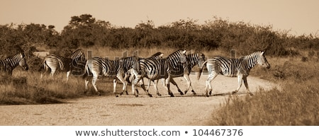 Esecuzione zebre strada savana Botswana Foto d'archivio © romitasromala