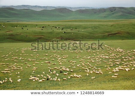 Flock of sheeps eating grass on top of the mountain in Romania Stock photo © pixachi
