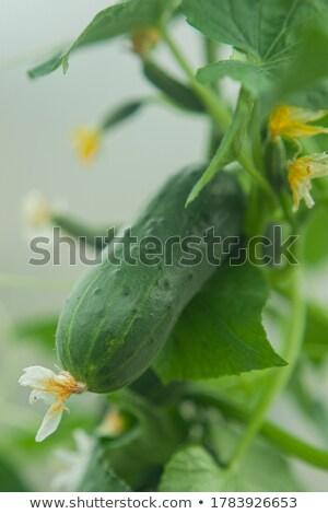 Saine concombre naturelles augmenté jardin cuisine Photo stock © More86