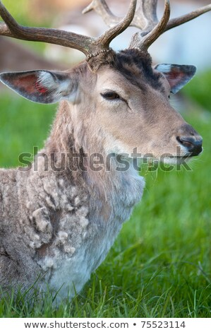 Fallow Deer (lat. Dama dama) Stock photo © fisfra