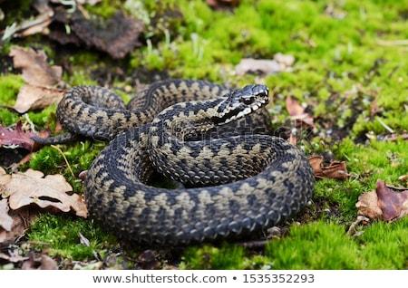 Európai szem kert piros kígyó állat Stock fotó © chris2766