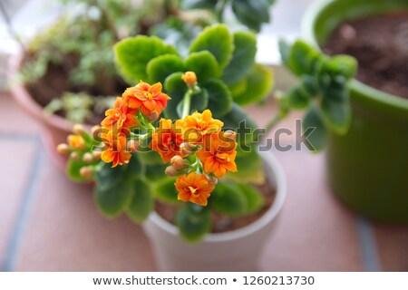çiçekli bitki ev bahçe stok fotoğraf Stok fotoğraf © nalinratphi
