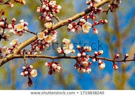Pêssego florescimento primavera foco flor Foto stock © stevanovicigor