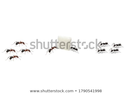 Black ant holding sugar cube Stock photo © bluering