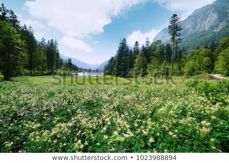 Green fir trees in the Austrian Alps Stock photo © kb-photodesign