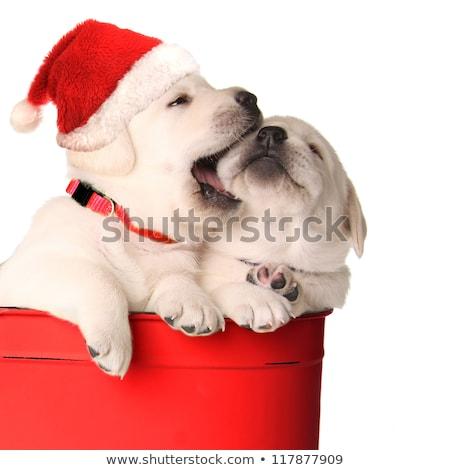 Dog Christmas cards, naughty puppy Stock photo © marimorena