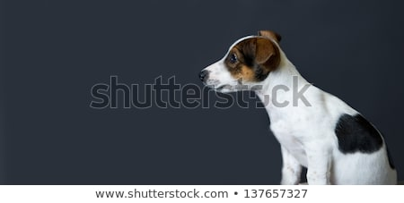 Stock photo: beautyful mixed breed dog sitting in a dark background