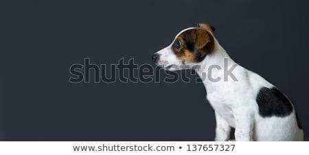 beautyful mixed breed dog sitting in a dark background stock photo © vauvau