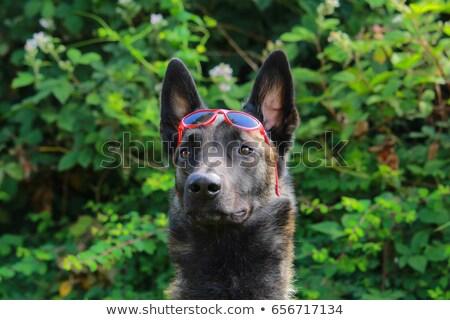 Pastore belga cane occhiali da sole cielo felice sole Foto d'archivio © AvHeertum