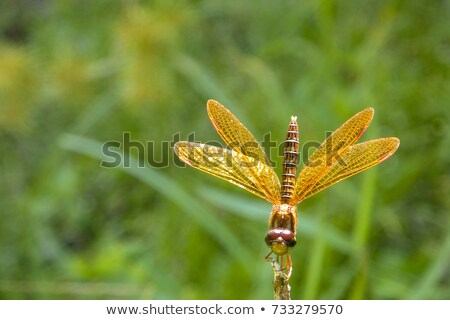 Stock photo: golden wings of the dragon