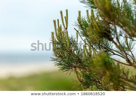 Evergreen alberi nuvoloso giorno mare Foto d'archivio © stevanovicigor
