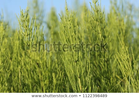 wild plants   green background of horsetail or tolkachik or equisetum arvense common horsetail in stock photo © virgin