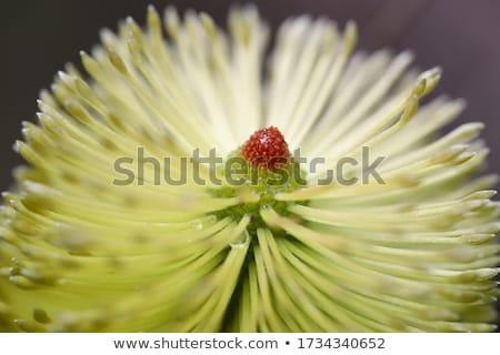 Geel · bloem · loof · bijen · new · south · wales · Australië - stockfoto © smartin69
