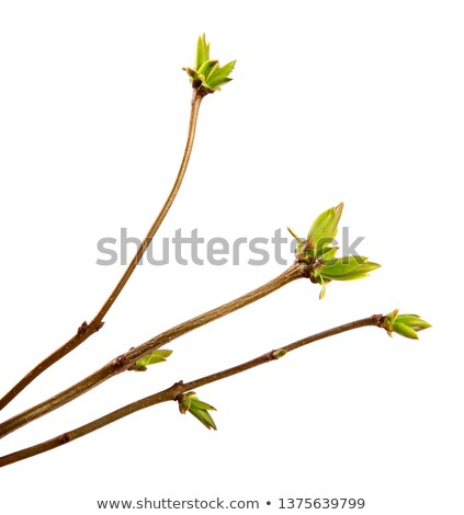 branch lilac tree with spring buds isolated on white stock photo © alexan66