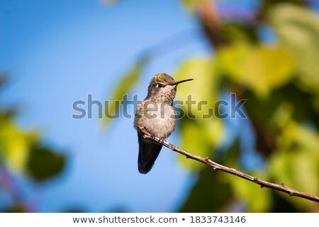 Angry Little Hummingbird Stock photo © cthoman