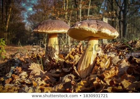 Király tölgy erdő nagy tinóru gomba nő Stock fotó © romvo
