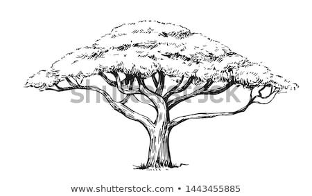 acacia tree in african savanna Stock photo © dolgachov