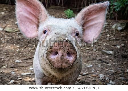 Sıkılmış küçük domuz karikatür örnek bakıyor Stok fotoğraf © cthoman