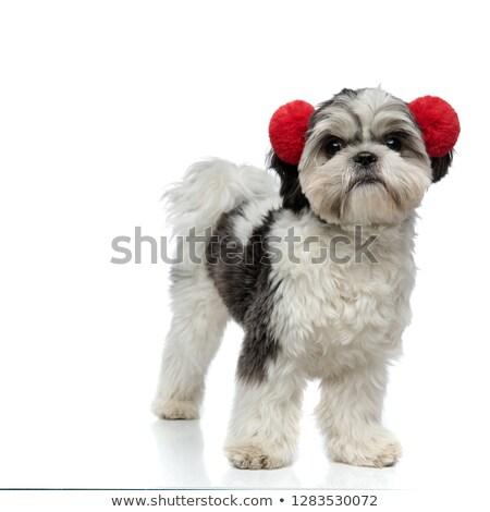 happy shih tzu wearing red fluffy earmuffs Stock photo © feedough