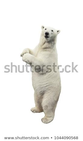 jegesmedve · szőr · fehér · külső · ahogy · textúra - stock fotó © backyardproductions