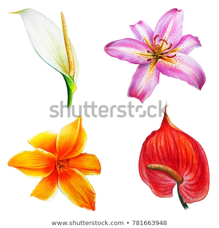 Isolated red anthurium flower blossom Stock photo © manfredxy