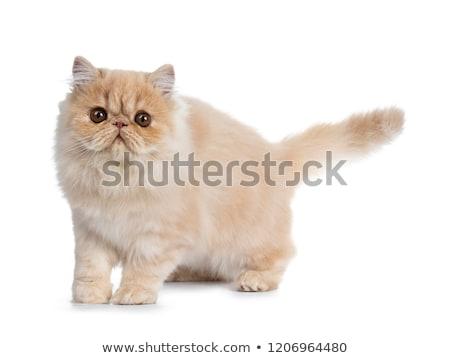 Zoete room rook perzische kat kitten naar Stockfoto © CatchyImages
