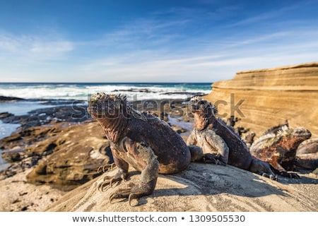 Galapagos Islands Marine Iguana - Iguanas warming in the sun on Santiago Island Stock photo © Maridav