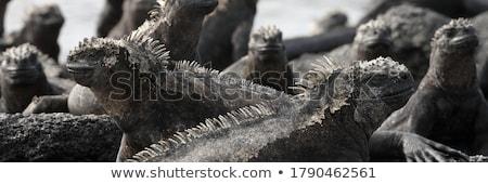 面白い 動物 海洋 イグアナ 溶岩 トカゲ ストックフォト © Maridav