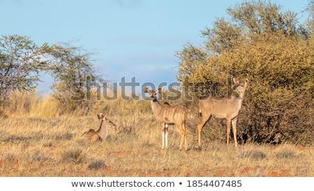 Vrouwelijke permanente bush spel reserve South Africa Stockfoto © simoneeman
