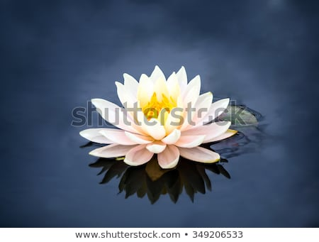 pure white water lily with black background stock photo © ansonstock