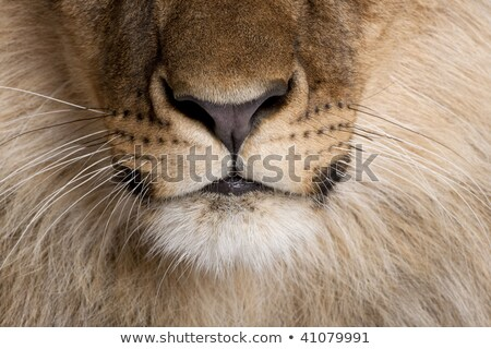 Lion Details Stock photo © searagen