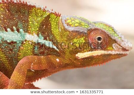Verde camaleão colorido foto árvore Foto stock © BrunoWeltmann