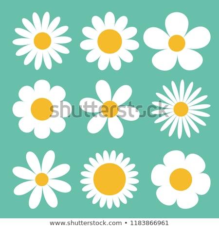 Belo margarida flor um preto Foto stock © simply