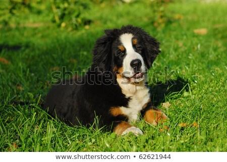 köpek · yavrusu · köpek · portre · bernese · dağ · köpeği · beyaz - stok fotoğraf © cynoclub
