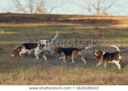 Hunting Beagle Stock photo © mybaitshop