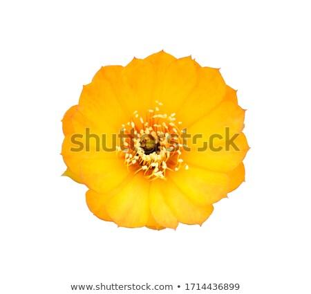cacto · flores · amarelas · mediterrânico · flor · primavera - foto stock © billperry