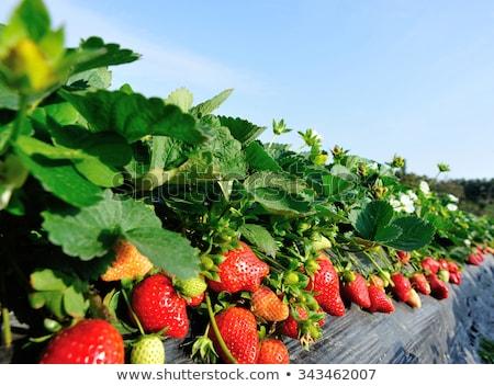 Aardbeien velden voedsel vruchten tuin achtergrond Stockfoto © kawing921