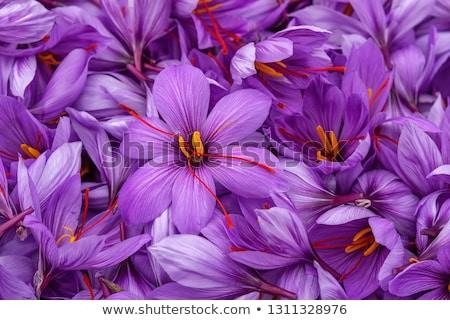 roxo · açafrão · escondido · folhas · flor · primavera - foto stock © taviphoto