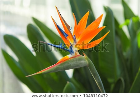 genus strelitzia reginae orange bird flower Stock photo © lunamarina