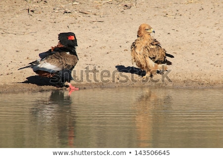Bateleur and Tawny Eagle - Wild Raptors from Africa have a water fight Stock photo © Livingwild