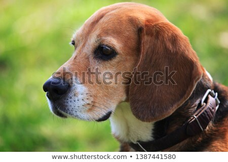 Nosey Beagle Stock photo © ArenaCreative