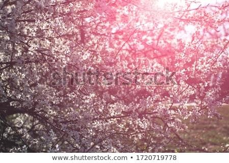 cherry blossoms against blue sky stock photo © tainasohlman