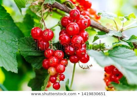 незрелый красный смородина Буш саду продовольствие Сток-фото © EFischen
