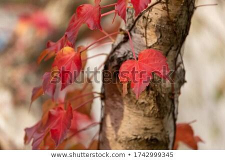 Huş ağacı ağaç sonbahar bahçe sarı yeşillik Stok fotoğraf © mahout
