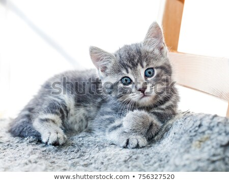 Cute Tabby Kitten with Blue Eyes Stock photo © dnsphotography