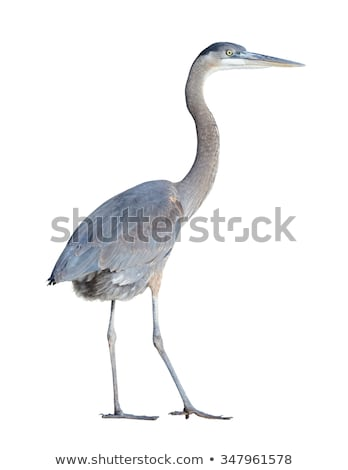 Juvenil azul garça-real água pena aves Foto stock © njnightsky