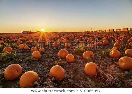 sunset in pumpkin patch stock photo © jameswheeler