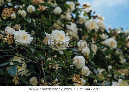 Climbing roses in the garden  Stock photo © Julietphotography