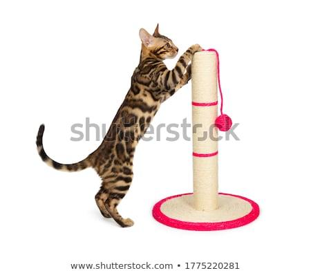 İran · kedisi · gönderemezsiniz · üç · renkli · beyaz · oyuncak · kadın - stok fotoğraf © stocksnapper