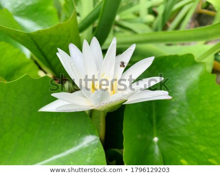 bee flying over a waterlily stock photo © smithore